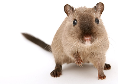 stock-photography-gerbil.jpg